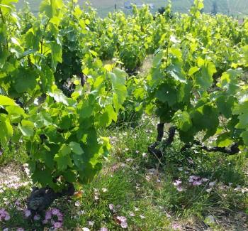 gobolet vines
