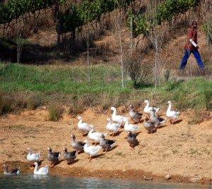 sa-tullbagh-ducks (44K)