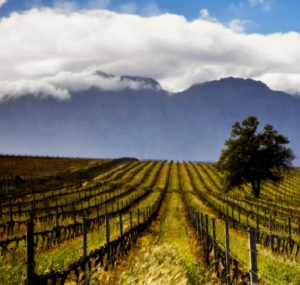 zalze-vineyard-2