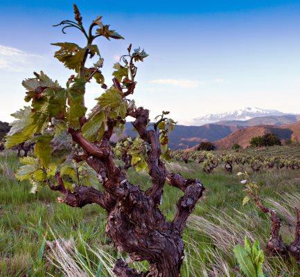 Le Soula Vineyard