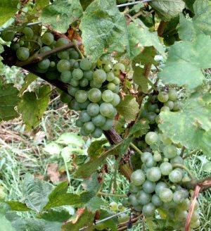 Sylvaner grapes