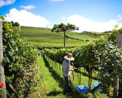 Brazil vineyards